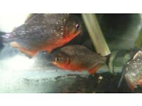 red belly piranahs and fish tank