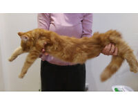 Big in size and great quality Maine Coon kitten