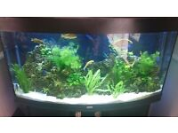 Juwel vision 250 bow front fish tank with fish