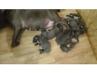Staffy blue pups for sale