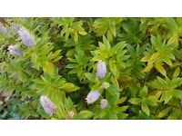 Hebe evergreen shrub with flowers
