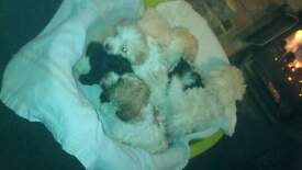 Bichon Frise x Cairn Terrier puppies 4 dogs 3 bitches ready 20 dec boys 475 girls 495