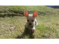 7 month old chihuahua cross jackrussel