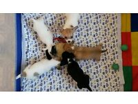 jackahuahua puppies for sale there are two boys and two girls brown one already sold