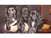 Cocker spanial pups