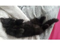 Black- Brown tabby marks long haired female kittens for sale