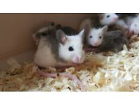 African Soft Fur Rats / Multimmamate Mice £5 each - will do deals for multiple purchases.