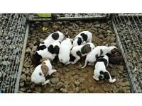 lurcher x whippet puppies