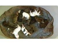 Boxer X rottweiler puppies
