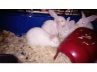 dwarf lop baby rabbit ready now, well handled, insured, litter trained