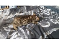 Beautiful Bengal Kittens Male and Female