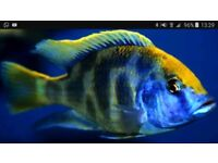 Nimbochromis venustus cichlid(male) african cichlid lake malawi. Beautiful fish. 5inches