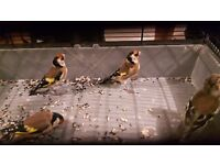 Gold finches cocks