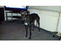Whippet x greyhound saluki (lurcher)