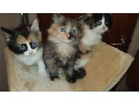 ADORABLE GORGEOUS FLUFFY KITTENS - (Part Persian & Part Ragdoll - Mixed Breed Long haired) 3 left