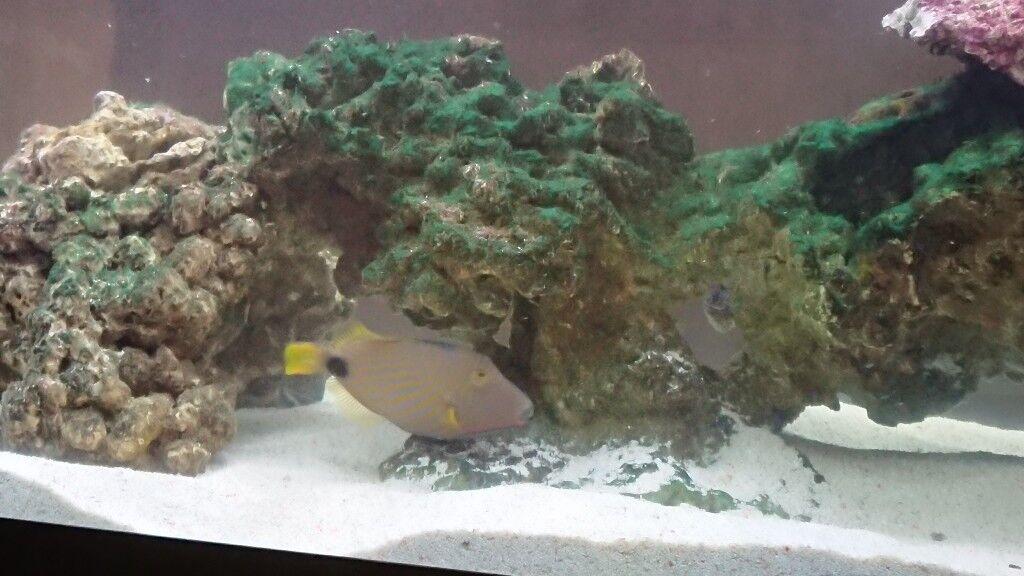 undulate trigger fish marine fish in congleton cheshire gumtree