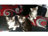 Three beautiful kittens
