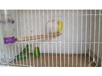 budgies for sale £10. each.