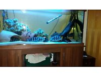 Frontosa chilids males for sale lovely big fish