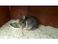 Rabbit female Netherland dwarf and ouside hutch
