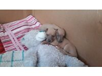 1 blonde whippet puppy