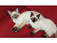 Adorable 4 month old Ragdoll kittens selling due to house move