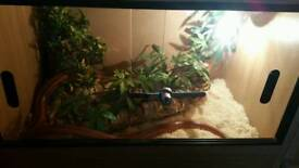 corn snake and entire set up