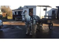 14h blue and white mare for sale