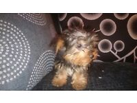 Boy Yorkshire terrier