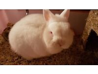 Dwarf male white rabbit FOR SALE. looking for a good family