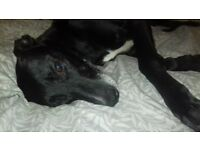 Collie greyhound lurcher needing loving home