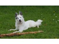 Gorgeous male border collie white 14 months in tact