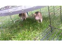 Free rats