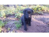 Pedigree Labrador Puppy 1 Left Ready To Leave Now