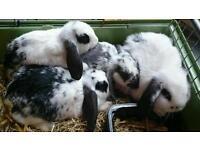 READY NOW!! 4 Mini Lop Rabbits