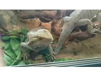 Bearded Dragon Pair - Male and Female