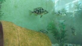 cichlid fish only 4 months old