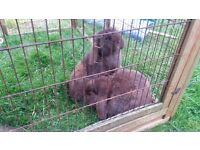 Gorgeous chocolate mini lops (just 12 months old) brothers neutered £10 each. Fraddon