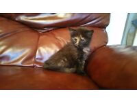 GORGEOUS FLUFFY MAINECOON X KITTENS FOR SALE