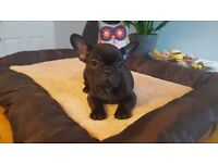 **price drop** From Litter Of 8 Only 3 Remain..Flawless French Bulldog Pups