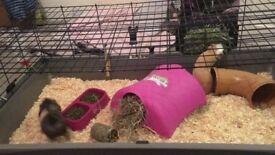 2 female guinea pigs plus XL cage
