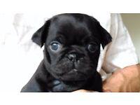 Adorable All Black Girl Pug Puppy