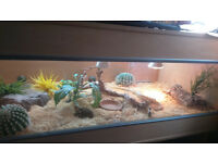 Berber Skink, female & 4foot x 2ft vivarium with fittings included