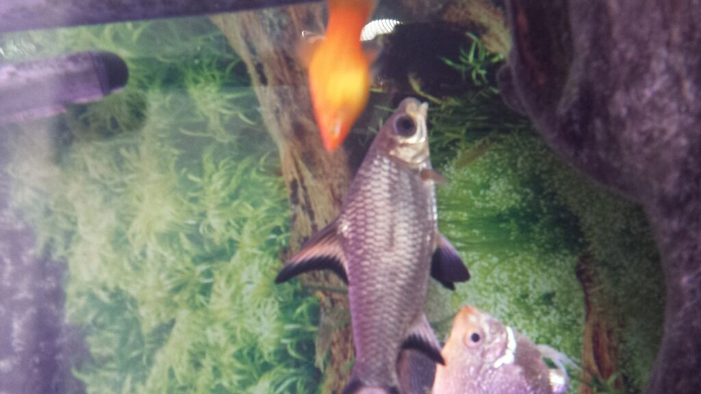 Convict Fish For Sale Fish Also Pair of Convicts