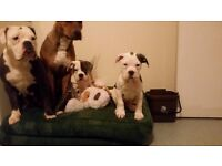 Reduced price old tyme bulldog puppies 900ono