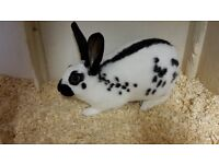 white rabbit with black markings