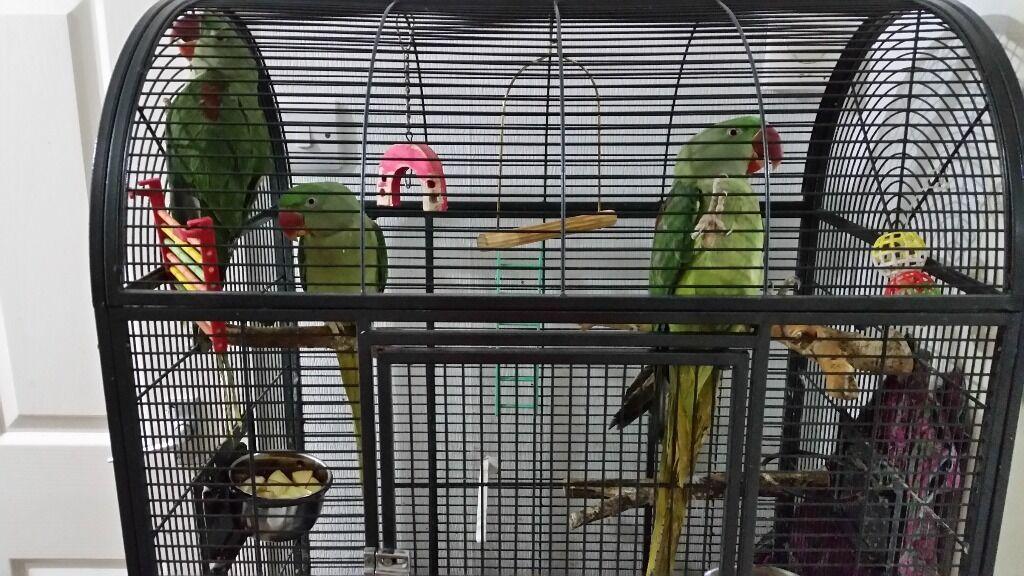 Alexandrine Parrot For Sale uk Alexandrine Parrot For Sale