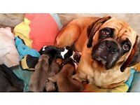 quality puggle puppies for sale
