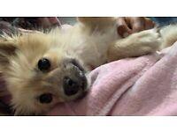 - SOLD - Pomeranian Male Puppy