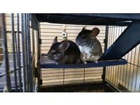 2 Male Chinchillas, 3 Cages & Accessories For Sale